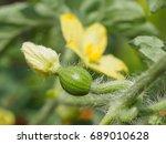 Macro Of Watermelon Flower Wit...