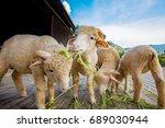 merino sheep eating ruzi grass... | Shutterstock . vector #689030944