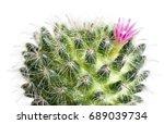 macro cactus flower mammillaria ...   Shutterstock . vector #689039734
