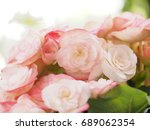 beautiful pale pink tuberous... | Shutterstock . vector #689062354