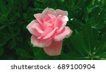 Stock photo blooming in the wild beautiful large flower of pink roses on the background of dark green foliage 689100904