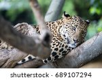 Leopard Is Resting On Tree