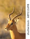 Small photo of The impala ( Aepyceros melampus) male portrait in the evening light