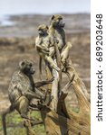 chacma baboon in kruger... | Shutterstock . vector #689203648