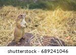 prairie dog stood looking and... | Shutterstock . vector #689241046