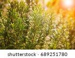 close up of green rosemary... | Shutterstock . vector #689251780