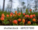 Cloudberry Grow In The Forest...