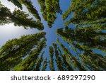 Group Of Poplars