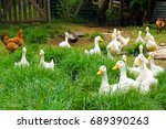 Chickens and ducks in organic...