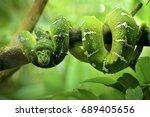 Close Up Of Green Tree Python....