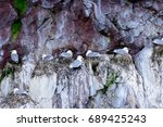 Colony Of Leach's Storm Petrel...