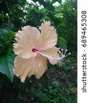 Hibiscus Rosa Sinensis  Chines...