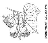 linden blossom  free hand... | Shutterstock . vector #689556598