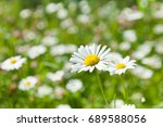daisies in the field | Shutterstock . vector #689588056