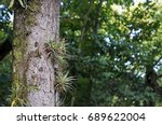 Epiphytic Plants On Tree Trunk...