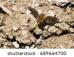 Small photo of Bee Fly alit on a muddy path collecting salts and minerals.