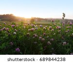 Red Clover In The Evening Sun