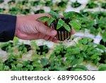 hydroponic of aquatic plants ... | Shutterstock . vector #689906506