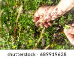 woman collects plant thymus.... | Shutterstock . vector #689919628