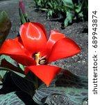 Bright Red Full Blown Tulip.