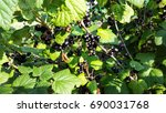bush with blackcurrant in the... | Shutterstock . vector #690031768