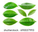 green tea leaf isolated on... | Shutterstock . vector #690037993