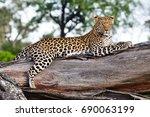 okavango delta leopard  | Shutterstock . vector #690063199