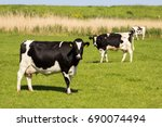 black and white holstein... | Shutterstock . vector #690074494