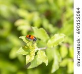 Small photo of ant bag beetle in natural green ambiance at spring time
