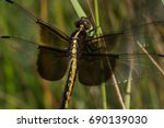 A Widow Skimmer Dragonfly...