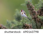 An Adult Goldfinch  Carduelis...