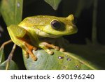 white banded tree frog... | Shutterstock . vector #690196240