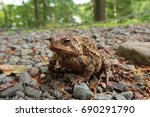 Typical Toad Found In American...