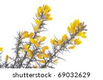 Yellow Gorse Stems On White
