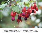 Fuchsia Flowers.beautiful...