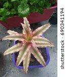 Small photo of Aechmea fasciata