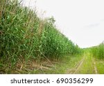 cane  reed  rush  thatch  frail.... | Shutterstock . vector #690356299