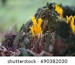 Small photo of orange mushroom calocera vistsosa on trunk