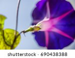 Deep Indigo And Purple Petunia...