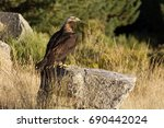 adult male of spainsh imperial... | Shutterstock . vector #690442024