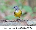Small photo of Yellow-bellied Bulbul (Alophoixus phaeocephalus) or Merbah Perut Kuning standing on log in nature.