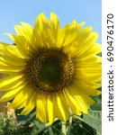 sunflower with clean sky in the ... | Shutterstock . vector #690476170