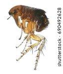 flea or human flea   pulex... | Shutterstock . vector #690492628