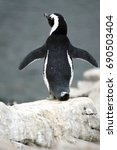 Small photo of African penguin (Spheniscus demersus) posing in a colony in Betty's Bay, near Cape Town, South Africa