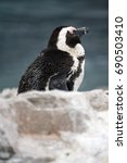 Small photo of Molting African penguin (Spheniscus demersus) in a colony in Betty's Bay, near Cape Town, South Africa
