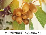 cluster of ripe kiwi fruit on... | Shutterstock . vector #690506758