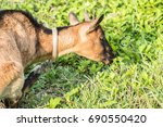 Brown Goat Isolated On Grass