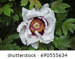 white peony with a violet... | Shutterstock . vector #690555634
