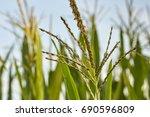 Corn Field Just Before Harvest  ...