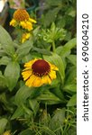 Young Flower Of Helenium Plant...
